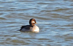 Bufflehead (F) - Irondequoit Bay Outlet - © Dick Horsey - Dec 23, 2016